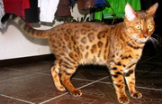 Вязка бенгальских кошек Питомник бенгальских кошек  #sunnybunny.by  #sb