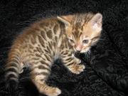 Бенгальские котята Питомник бенгальских кошек  sunnybunny #sb