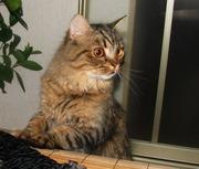 Британская полудлинношерстная кошка Питомник британских кошек  #sunnybunny.by #sb