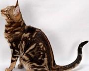 Бенгальские котята мрамор на золоте